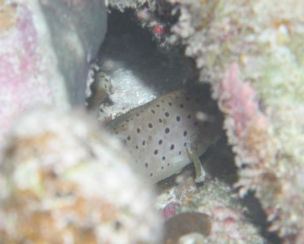 Seabasses - Spotted Soapfish