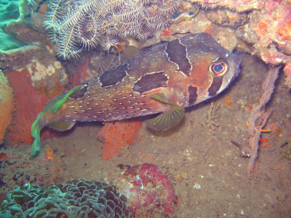 Porcupinefish - Black-blotched Porcupinefish