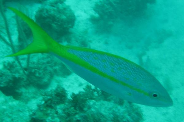 Snappers - Yellowtail Snapper