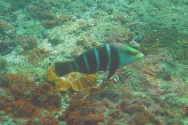 Wrasse - Barred Thicklip Wrasse