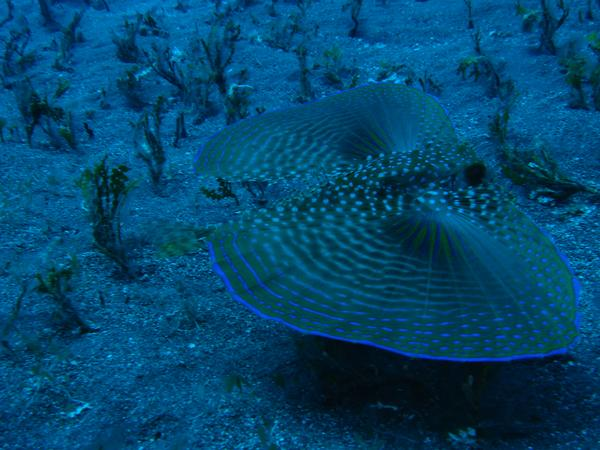 Flying Gurnard - Flying Gurnard