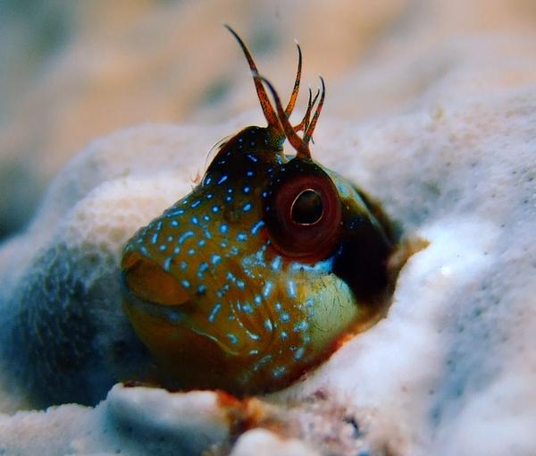 Blennies - Seaweed Blenny