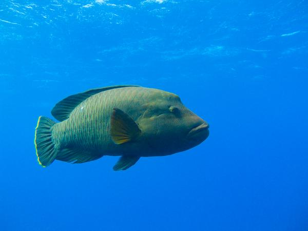 Wrasse - Humphead Wrasse