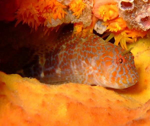 Blennies - Orangespotted Blenny