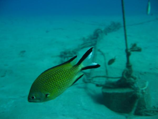 Damselfish - Atlantic Damselfish