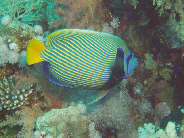 Angelfish - Emperor Angelfish