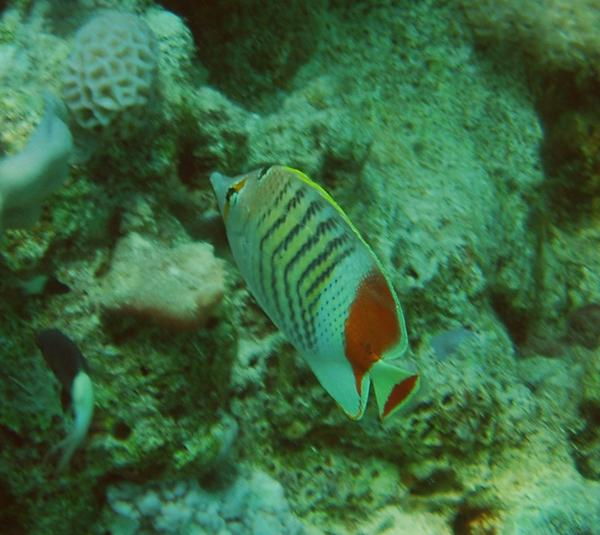 Butterflyfish - Crown Butterflyfish