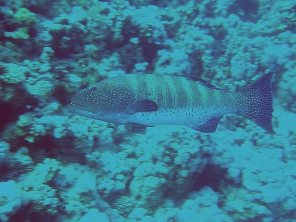 Groupers - Red Sea Coral Grouper
