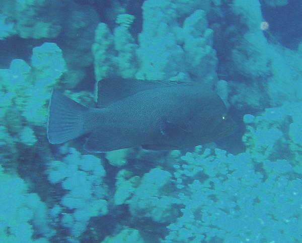 Groupers - Redmouth Grouper