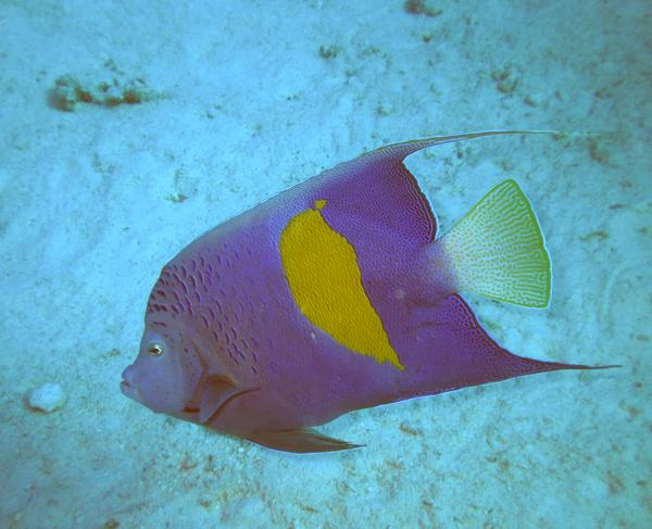 Angelfish - Yellowbar Angelfish