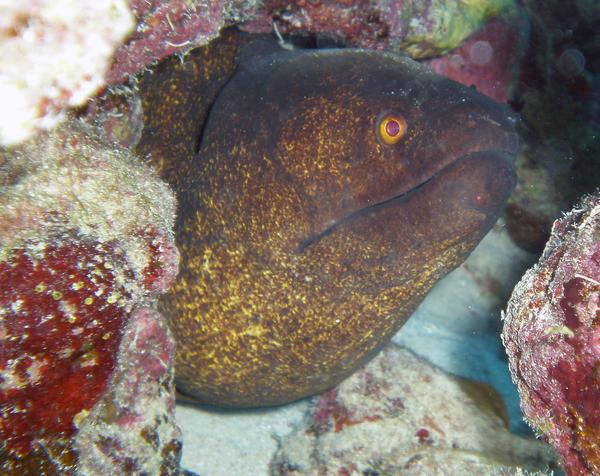 Moray - Yellow-edged Moray