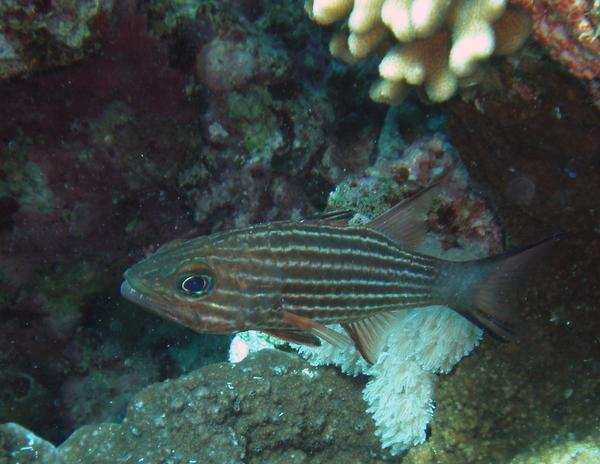 Cardinalfish - Tiger Cardinalfish