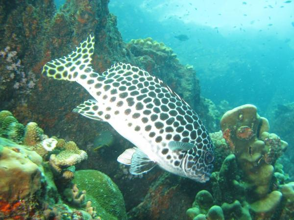 Grunts - Many-spotted Sweetlips