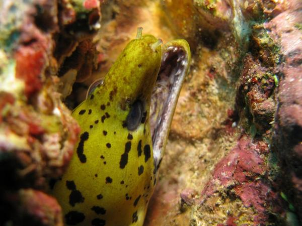 Moray - Fimbriated Moray