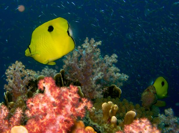Butterflyfish - Indian Teardrop Butterflyfish