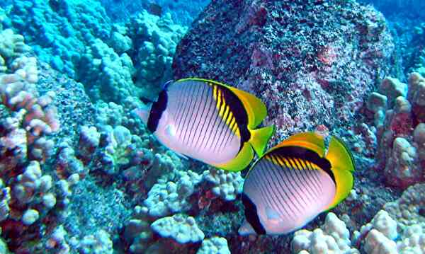 Butterflyfish - Lined Butterflyfish
