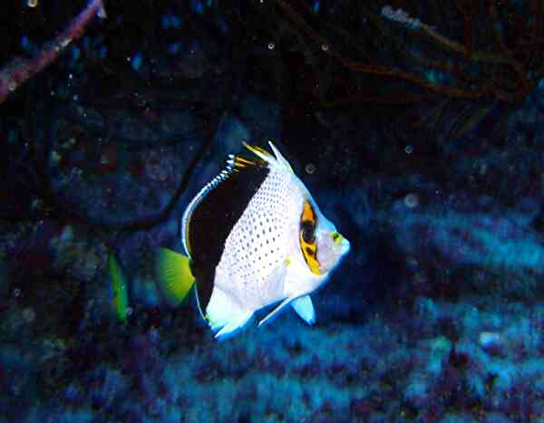 Butterflyfish - Tinkers Butterflyfish