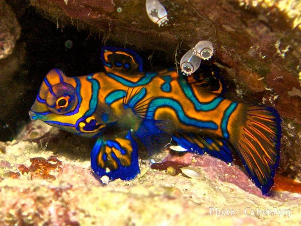 Dragonets - Mandarin Fish
