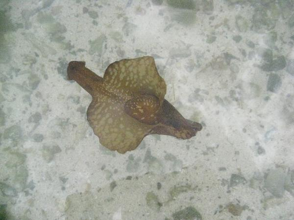 Sea Hare - Spotted Sea Hare