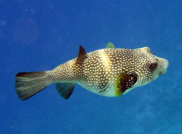 Pufferfish - Whitespotted Puffer