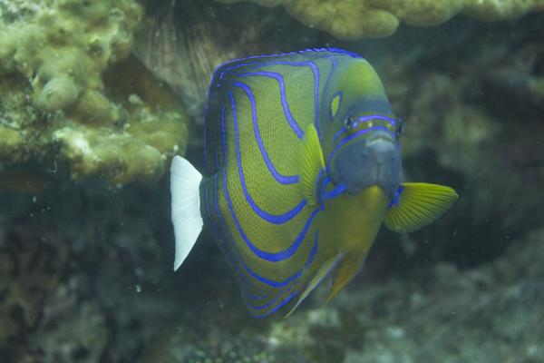 Blue-ringed Angelfish - Pomacanthus annularis
