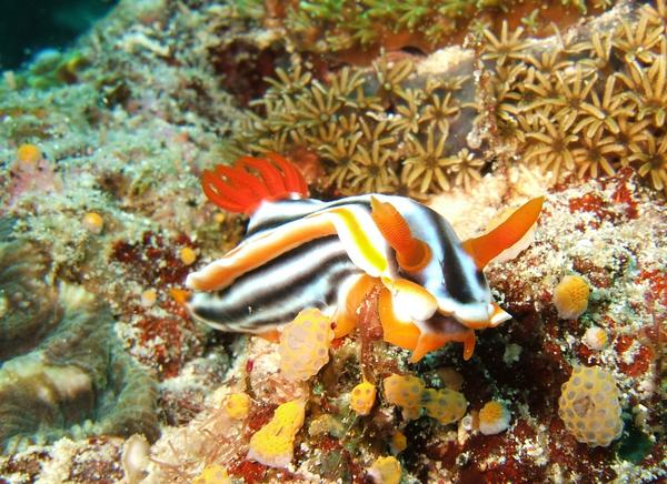 Nudibranch - Magnificent Chromodoris