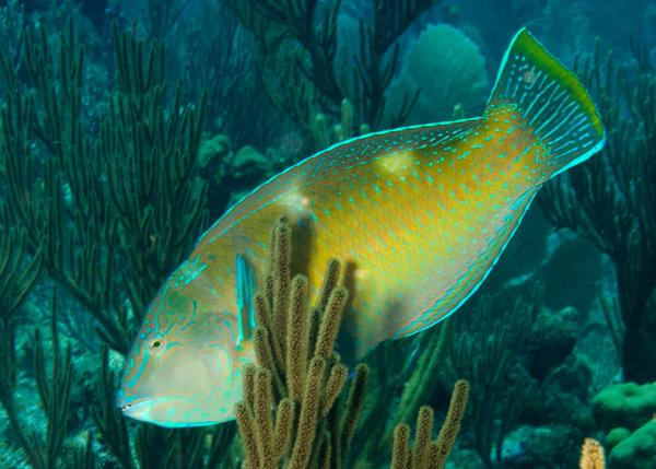 Wrasse - Puddingwife