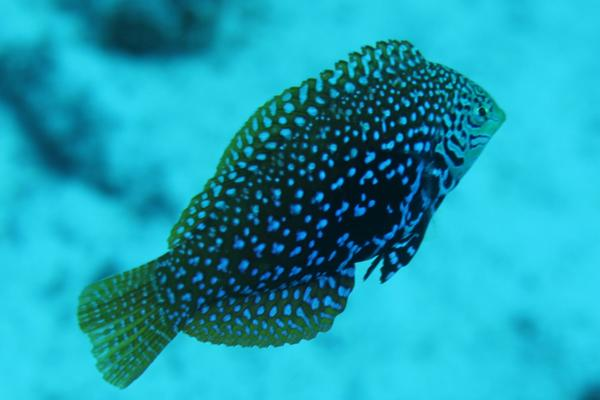 Wrasse - Vermiculate Wrasse