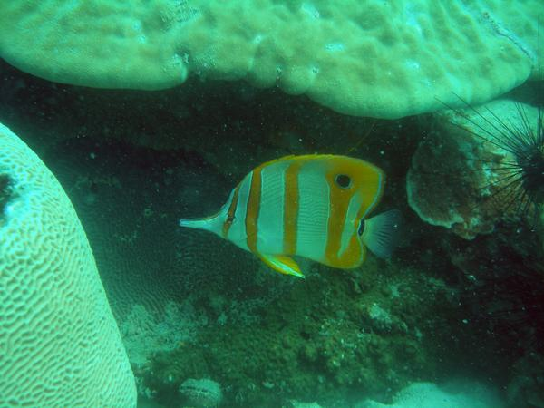 Butterflyfish - Copperband Butterflyfish