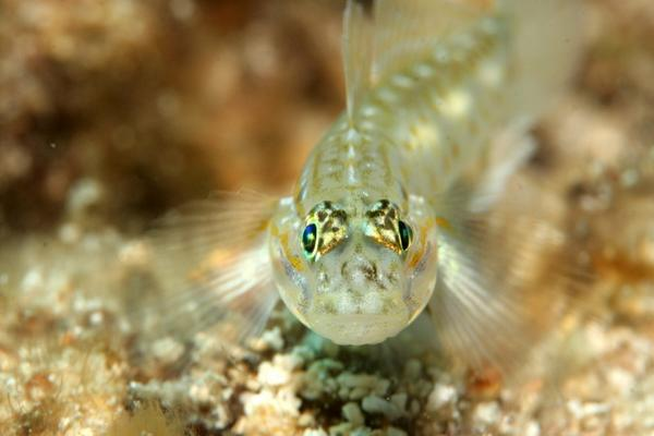 Gobies - Bridled Goby