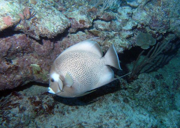Angelfish - Gray Angelfish