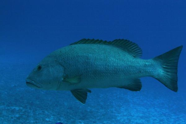 Snappers - Cubera Snapper