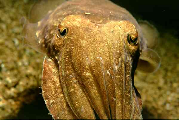 Cephalopoda - Common Cuttlefish