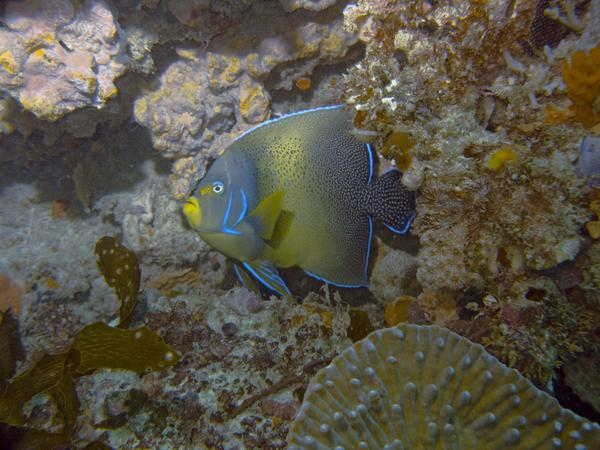 Angelfish - Semicircle Angelfish