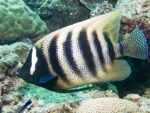 Angelfish - Barred Angelfish