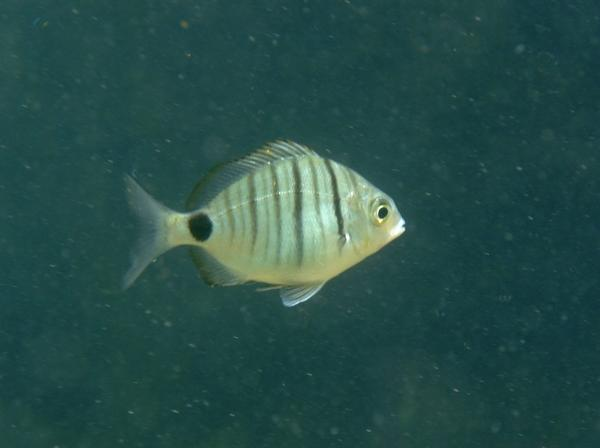 Breams - African White Bream