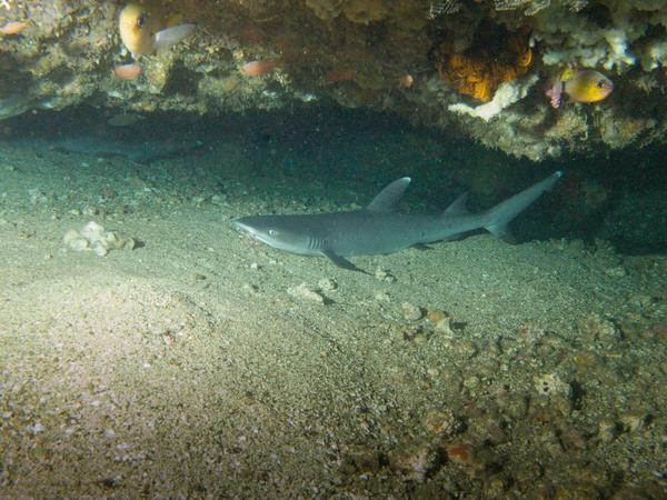 Sharks - Whitetip Reef Shark