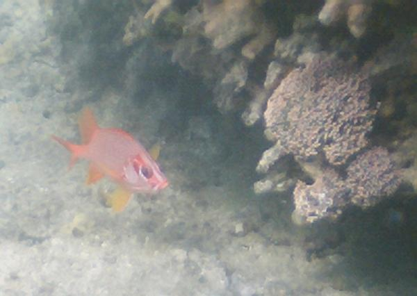 Squirrelfish - Long-jawed Squirrelfish