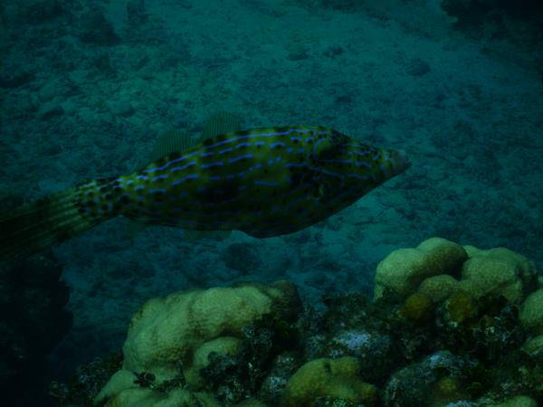 Filefish - Scrawled Filefish