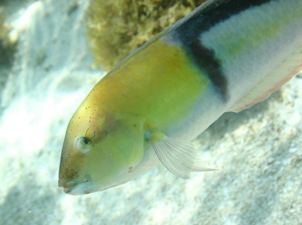 Wrasse - Yellowhead Wrasse