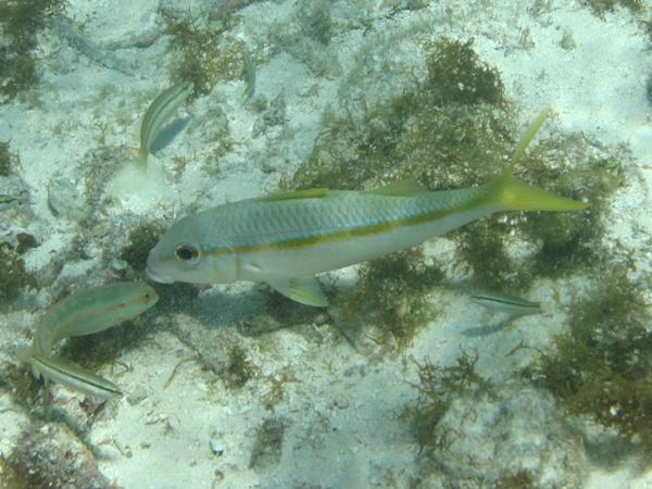 Goatfish - Yellow Goatfish