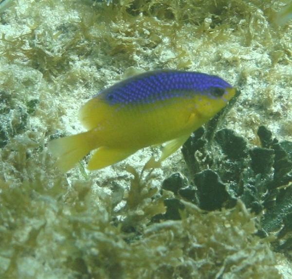 Damselfish - Beaugregory Damselfish