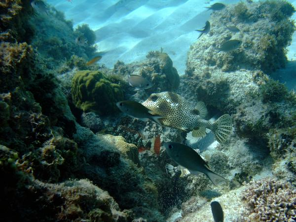 Trunkfish - Spotted Trunkfish