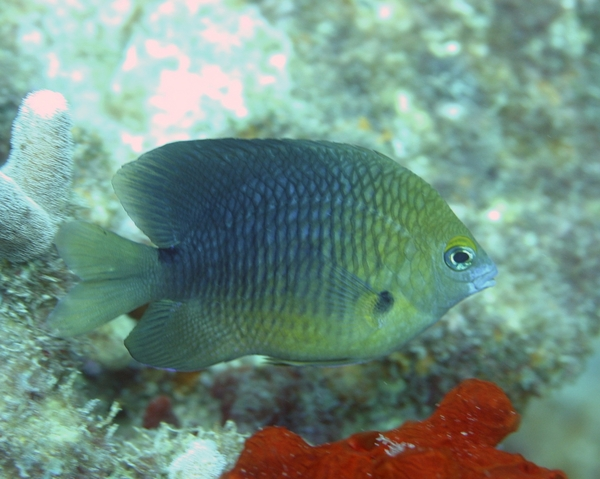 Damselfish - Threespot Damselfish