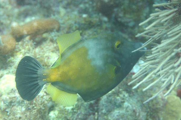 Filefish - Whitespotted Filefish
