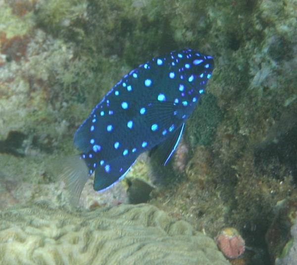 Damselfish - Yellowtail Damselfish