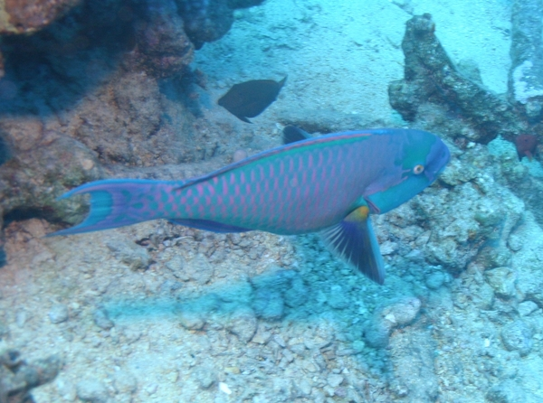 Bluebarred Parrotfish - Scarus ghobban