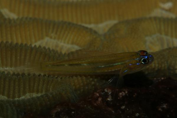 Gobies - Peppermint Goby