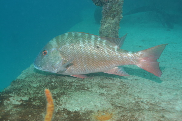 Snappers - Mutton Snapper