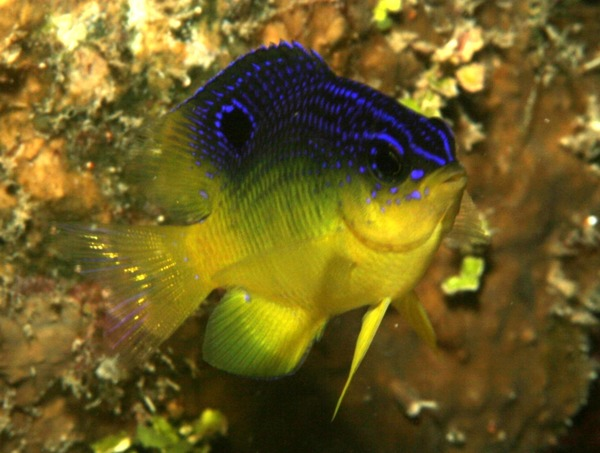 Damselfish - Longfin Damselfish